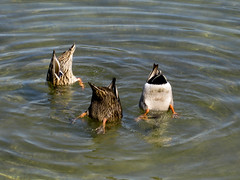 3 Mallard Ducks (.imelda) Tags: park water oneaday tom three texas bass houston ducks photoaday mallard 365 pearland pictureaday imelda naturesfinest bettinger project365 imeldabettinger project365208 project365102707