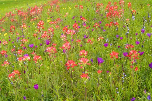 Wildflowers in Keene Texas