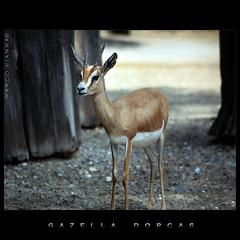 Gazella dorcas (m@tr) Tags: barcelona espaa canon zoo tamron zoodebarcelona canoneos400ddigital dorkasgazelle gazelladorcas mtr marcovianna tamron18200mmf3563diiixr