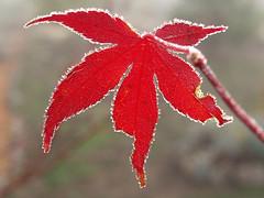 Japanese Maple (laszlofromhalifax) Tags: red canada ice leaf frost novascotia frosty japanesemaple getty icy halifax frontyard