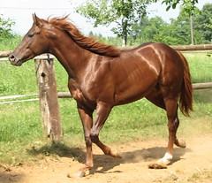 before dusty bath (forestsoul) Tags: horses pets animals farm slovenia stallion quarterhorse loh galope horsesrule forestsoul