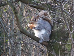 Grey Squirrel in Stave Hill Ecology Park