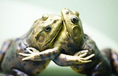 The Dance of the Bullfrogs (Thomas Hawk) Tags: nyc newyorkcity two usa newyork green animal delete2 hugging unitedstates fav50 10 manhattan unitedstatesofamerica save3 toads delete3 save7 save8 delete save save2 fav20 frog save9 save4 frogs save5 save10 save6 fav30 bullfrog americanmuseumofnaturalhistory fav10 fav25 fav40 fav60 fav70 superfave