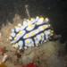 Phyllidia seaslug
