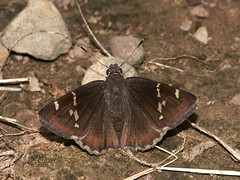 Southern Cloudywing, Thorybes bathyllus, female (Bill Bouton) Tags: brown june butterfly ar southern dorsal midsize cloudywing hesperiidae bmna pyrginae hesperioidea thorybes thorybesbathyllus southerncloudywing bathyllus telegonini bamona1947 allleps7759