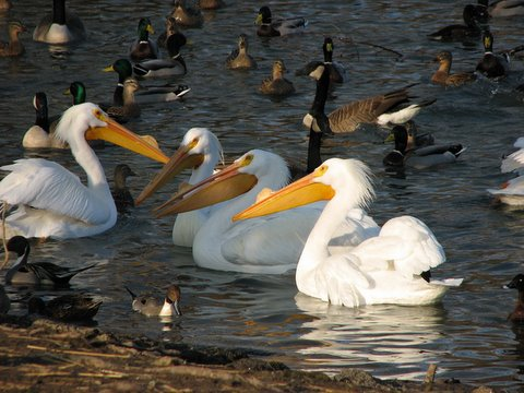 a conference of pelicans....