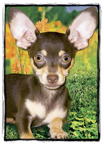 "Chihuahua  ""Dexter"""