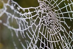 Frozen Webs - 02 (Jyoti Mishra) Tags: frozen frost cobweb spiderwebs cobwebs webs frozenwebs