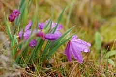 The hope of spring (Just Peachy!) Tags: oregon wildflowers columbiarivergorge rowenaplateau grasswidows tommccallpreserve