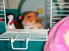 20080322 - 03 (kayako_) Tags: hamster pon