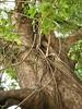 竹山鎮中和里救人老茄苳樹DSCN0176
