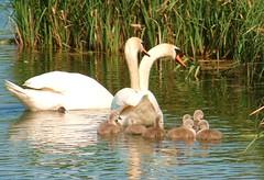 mum dad and kids b (lost45manuk) Tags: swans cygnets andoveruk antonlakes