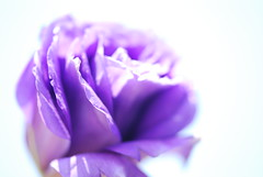PASSION (melodysr) Tags: rose purple overexposed hikey purplerose mywinners