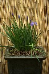 Iris setosa canadensis