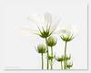Chen (intersperse) (thuyhien) Tags: portfolio themoulinrouge flowerotica goldmedalwinner overtheexcellence goldstaraward natureselegantshots multimegashot awesomeblossoms obq bestofvietbestphoto vietbestphoto 100commentgroup