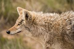 coyote redo (1 of 1) (cuddleupcrafts) Tags: coyote wildlife redo antelope island state park utah