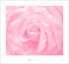 """Pureness (Anas Arab """"Back to web design"""") Tags: flowers light roses white flower art beautiful beauty rose canon photography eos design fine arts creative fresh arab syria designs pure damascus anas pureness    lighten                     1000d"""