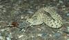 Sidewinder Rattlesnake (fiddlesnake) Tags: reptile snake rattlesnake sidewinder crotalus snakeeating crotaluscerastes mojavedesertsidewinder