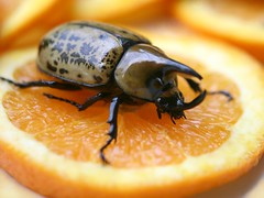 ALL MINE!!!!! (! Artist - Carolyn Hietala ! (painting)) Tags: lighting county hairy orange pet brown black macro male nature yellow closeup fruit bug carolyn insect virginia backyard focus flickr dof adult bright bokeh outdoor wildlife beetle large sigma richmond 150 spots slice zen huge spotted karma shallow unicorn eastern canonrebelxt f28 hercules chesterfield scarab selective coleoptera scarabaeidae tityus bokehlicious hietala dynastes citrit selectiveconceptualdof