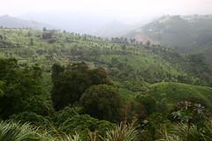IMG_2632 (y.awanohara) Tags: india tea kerala plantation hinduism teaplantation southindia southasia yawanohara january2010