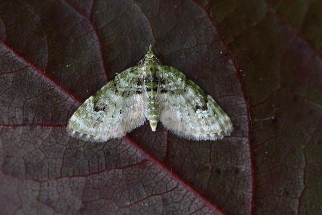 V-pug - Chloroclystis v-ata, Geometridae moth, lepidoptera
