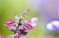 misty sage (KT Kerr) Tags: flower macro purple bokeh sage