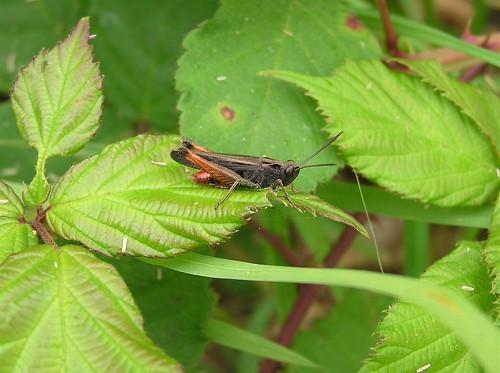 Omocestus rufipes - Woodland Grasshopper - Criquet noir-ébène  (♂) - 07/06/11