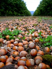 trees brown tree green oregon farm nuts harvest lewis orchard explore hazel nut agriculture clover hazels hazelnut filbert filberts hazelnuts corylus yamhillcounty corylusavellana helluva avellana betulaceae explore269 abigfave jackidee wermsrus happinessconservancy resistanttoeasternfilbertblight butnotimmune