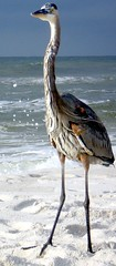 (Bill(iudshi8uf)) Tags: blue bird heron key florida great perdido ardeaherodias escambia