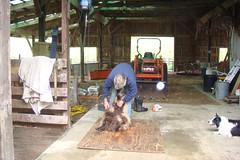 Shearing the lambs.