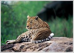 Suzi Q (A.M.G.1) Tags: nature animals african wildlife leopard borntobewild goodman andygoodman naturesfinest southafricanwildlife 10faves outstandingshots specanimal animalkingdomelite naturesgallery impressedbeauty southernafricanwildlife wildlifesouthafrica leopardscheetahs bfgreatesthits nginationalgeographicbyitalianpeople btbw goodmanandy wildlifeinsouthernafrica africanwildlifephotographer wildilfephotographer