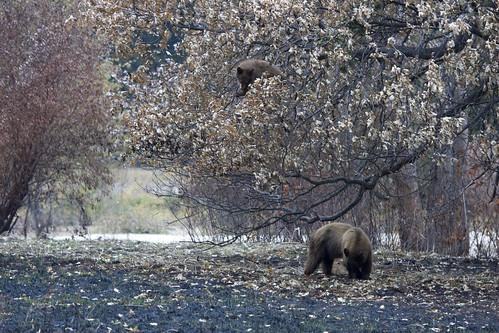 Cub with Mama Bear in Yosemite