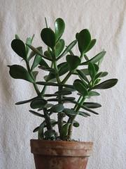 IMG_6105 (Plantules) Tags: crassula ovata
