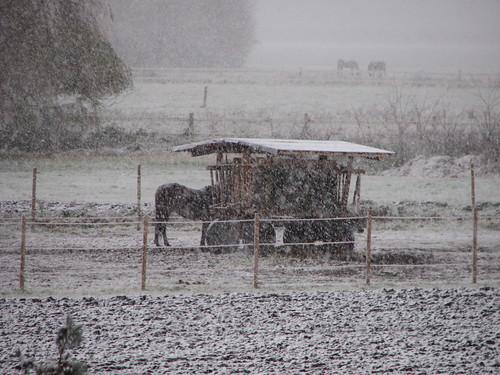 Pferdekoppel im Schneetreiben