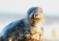 lookout (the_boglin) Tags: seals donnanook