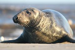 malegrey (the_boglin) Tags: seals donnanook