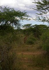serengeti girafe01 (VanEtNico) Tags: serengeti girafe tanzanie