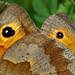Maniola jurtina en cópula  - Meadow Brown Butterfly