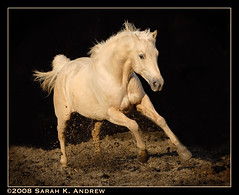 Mud Skipper (Rock and Racehorses) Tags: winter horse weather gold newjersey bravo warm play searchthebest mud january nj cream jr creme dilute explore 25 top20horsepix experimentation d200 2008 thaw mudskipper gallop quarterhorse musictomyeyes palomino themoulinrouge galope blueribbonwinner supershot magicdonkey mywinners mywinner supershots impressedbeauty superbmasterpiece oneofyourbest diamondclassphotographer flickrdiamond faunainmotion empyreananimals photojewels goldsealofquality betterthangood theperfectphotographer goldstaraward fleetingphotography 25solution