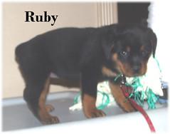 r3 (muslovedogs) Tags: dogs puppy rottweiler teaara zeusoffspring