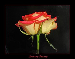 January Beauty (Lyubov) Tags: flowers flower nature beautiful rose wow great vivid harmony blueribbonwinner thebiggestgroup mywinners mywinner superbmasterpiece diamondclassphotographer citrit delightfulroses queenrose life~asiseeit