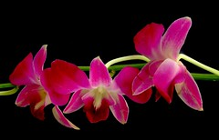 Three Of  A Kind (Vanda's Pictures) Tags: flowers flower green three bravo orchids petal vanda oink excellence onblack naturesfinest 1on1flowers 1on1macro mywinners abigfave superbmasterpiece infinestyle