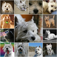 Wee Westie - A Year on Flickr (Randy Son Of Robert) Tags: dog chien pet cane fdsflickrtoys westie canine hond perro terrier cao hund yoshi gae kalb inu gou sobaka weewestie