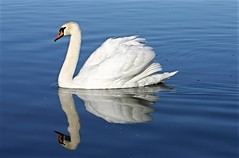 Swan on blue (yorkiemimi) Tags: nature animal bird swan water reflection white blue