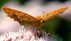 Butterfly (cienne45) Tags: friends italy macro nature butterfly cienne45 carlonatale explore natale mywinners artlibre flickrbest diamondclassphotographer flickrdiamond brillianteyejewel explorewinnersoftheworld exploreexset explore1336
