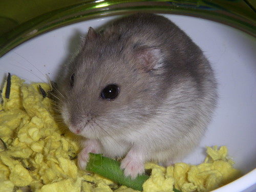 Thunder Eats a Green Bean Hamster