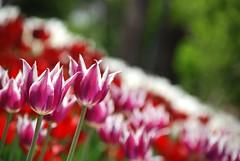 Lle Devri Kapanmaz!... :) (syrsln / ibo guido) Tags: turkey relax nikon dof trkiye tulip april guide dslr 2008 nisan konya lale objektif d80 kartpostal enstantane rehber fotorafkraathanesi deklanr alanderinlii syrsln alaaddintepesi flickrturkey qualitypixels alaaddinhill flickrlovers