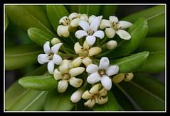 Pittosporum (Christian Demma) Tags: flowers white flower canon eos christian fiori fiore bianchi pittosporum pitosforo 400d canoneos400d demma christiandemma