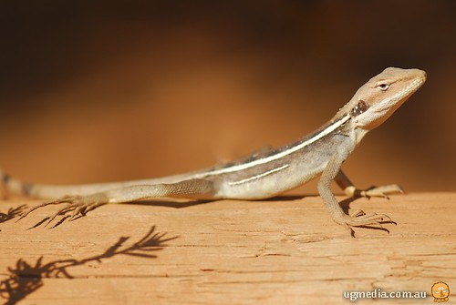 Long-nosed dragon (Amphibolurus longirostris)