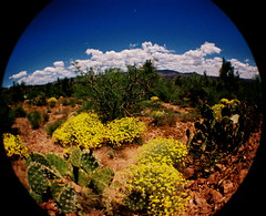 Spring bloom in the desert (kevin dooley) Tags: road county 2 arizona cactus sky favorite fish southwest flower green beautiful yellow clouds wow spring interesting fantastic lomo lomography flickr pretty desert angle very good gorgeous awesome country extreme wide large award superior super best fisheye trail most winner trust stunning excellent bloom much pricklypear rim incredible breathtaking 170 exciting gila degrees phenomenal fisheye2 mogollon barnhardt
